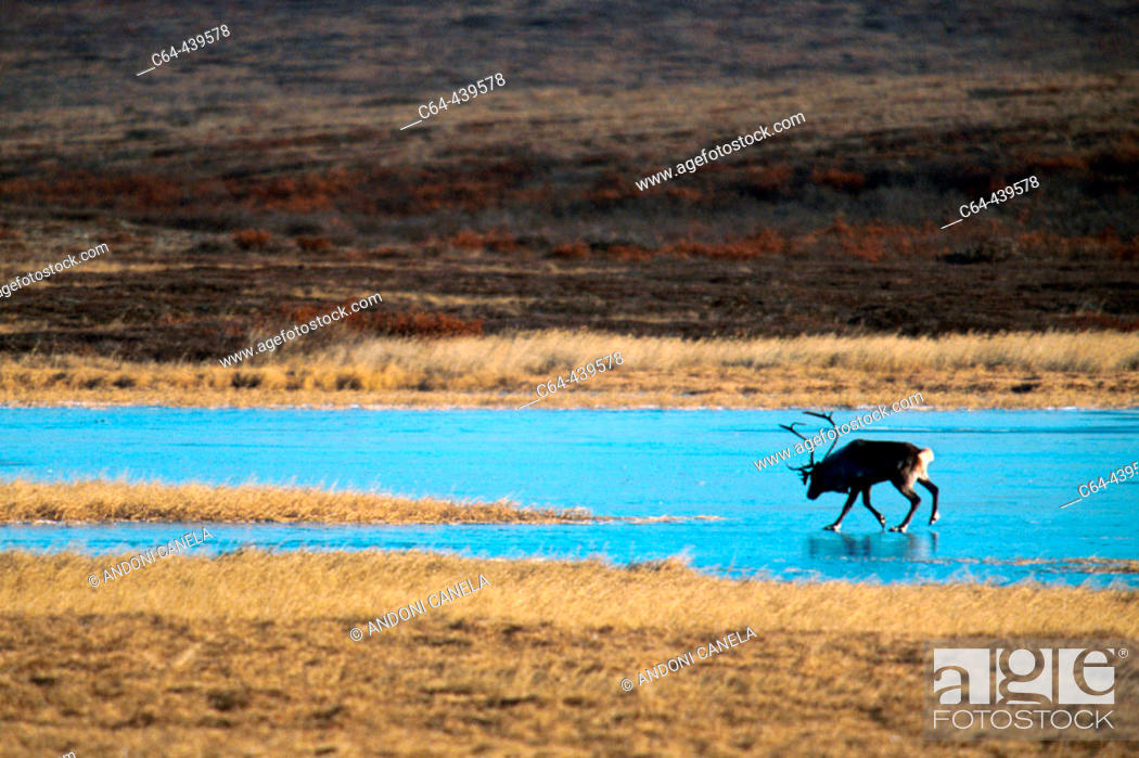 Stock Photo: Caribou (Rangifer tarandus) on frozen lake. Artic Alaska. USA.