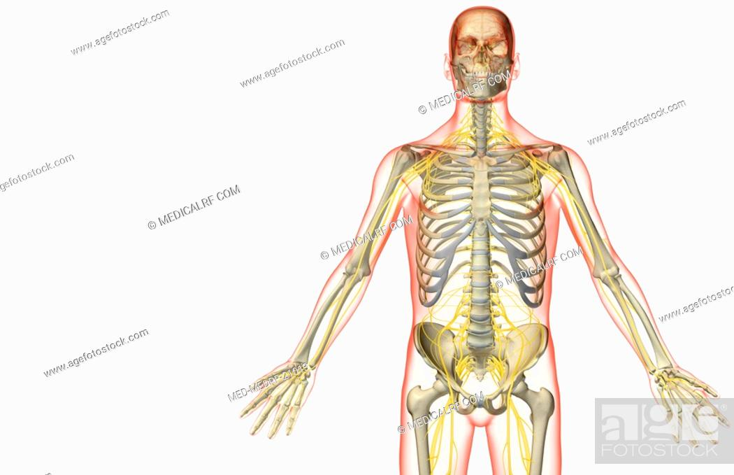Stock Photo: The nerve supply of the upper body.