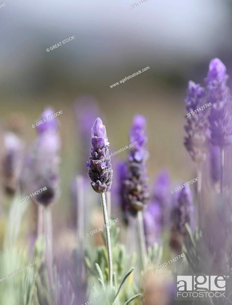 Stock Photo: Lavender Blooming Outdoors.