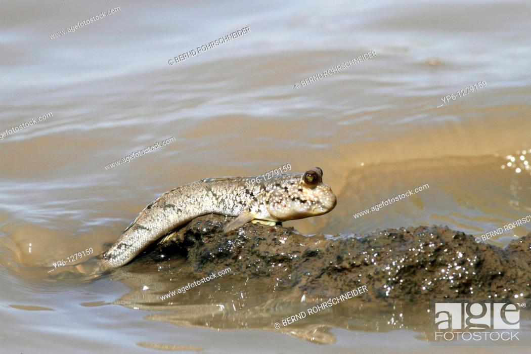 Stock Photo: Mudskipper, Periophthalmus sp , climbing out of the water, The Gambia.