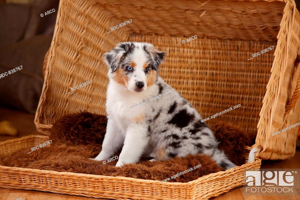 Miniature Australian Shepherd Puppy Blue Merle 10 Weeks Foto De Stock Imagen Derechos Protegidos Pic Rdc 838767 Agefotostock