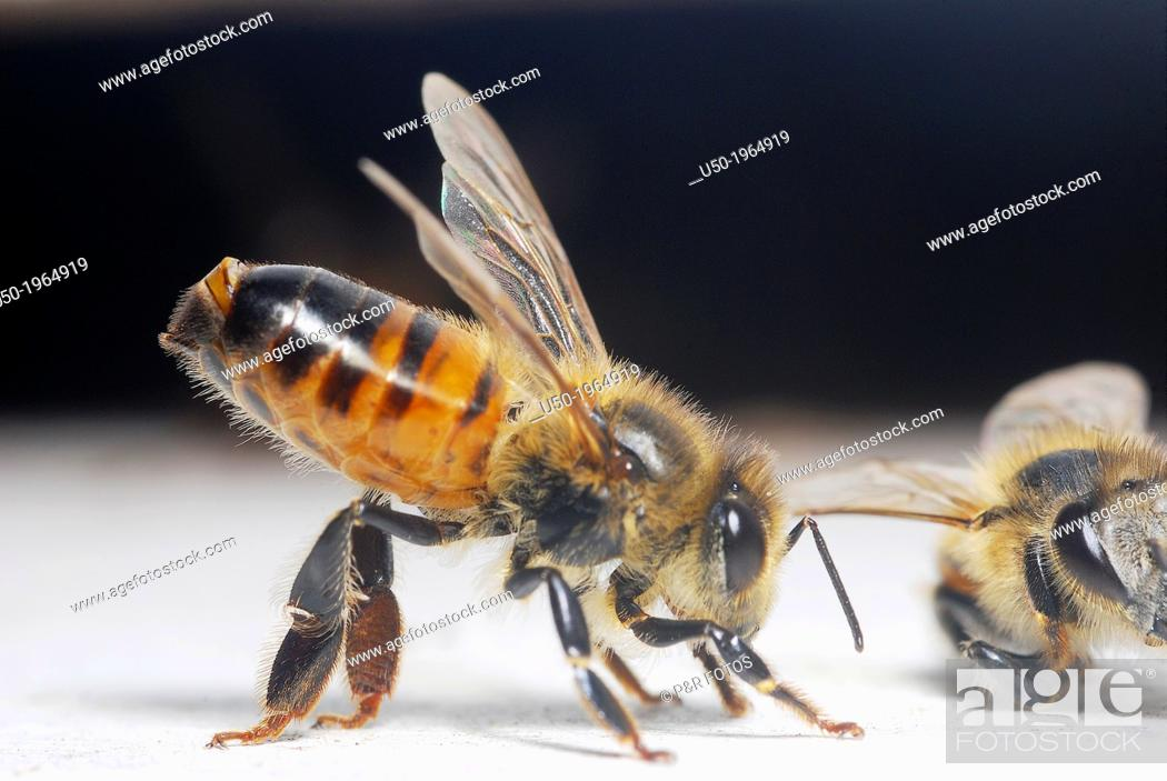 Stock Photo: Honeybee worker with the Nasanov gland exposed. Olfactory comumunication to food sources.