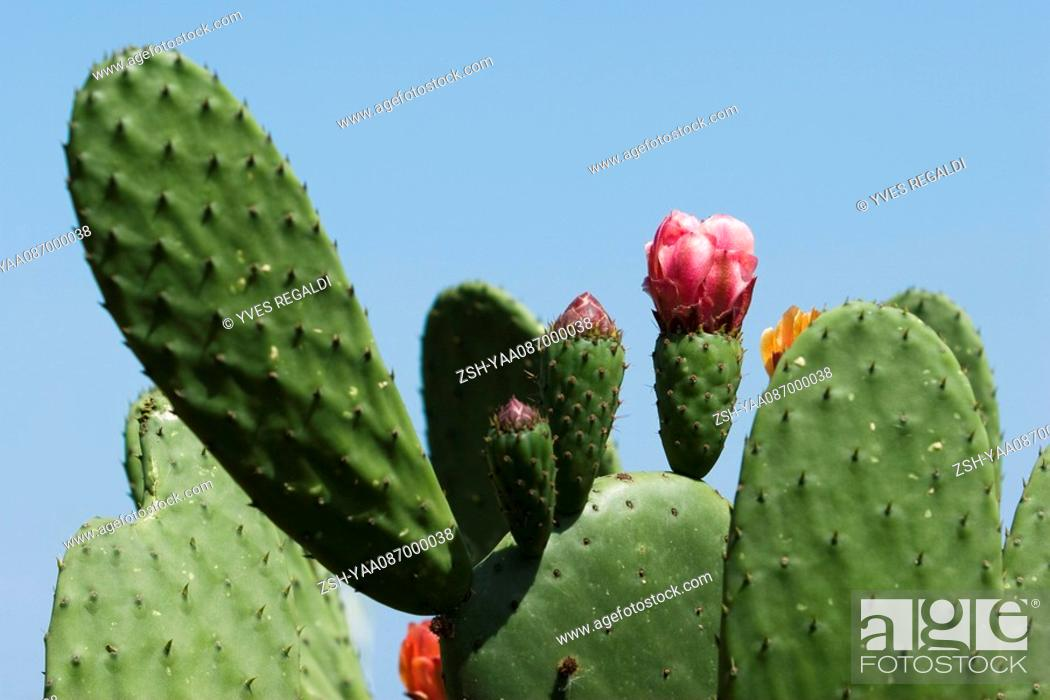 Stock Photo: Flowering prickly pear cactus, extreme close-up.