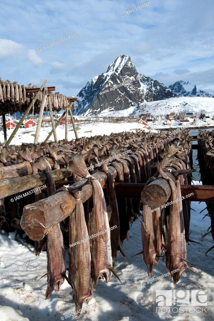 Stock Photo: Drying cod to produce traditional stockfish on outdoor racks in Lofoten Islands in Norway.