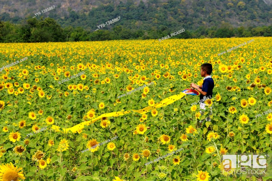 Stock Photo: young boy with his kite, sunflower field , sunflower fields of lopburi , central thailand.