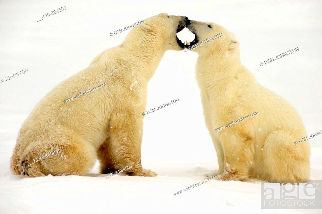 Stock Photo: Polar bear Ursus maritimus Pair sparring/playfighting.