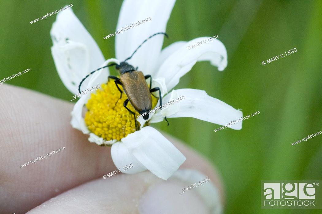 """Stock Photo: Anastrangalia sanguinolenta on a daisy. 8â. """"13mm long, active May to August. Life cycle is 2years."""