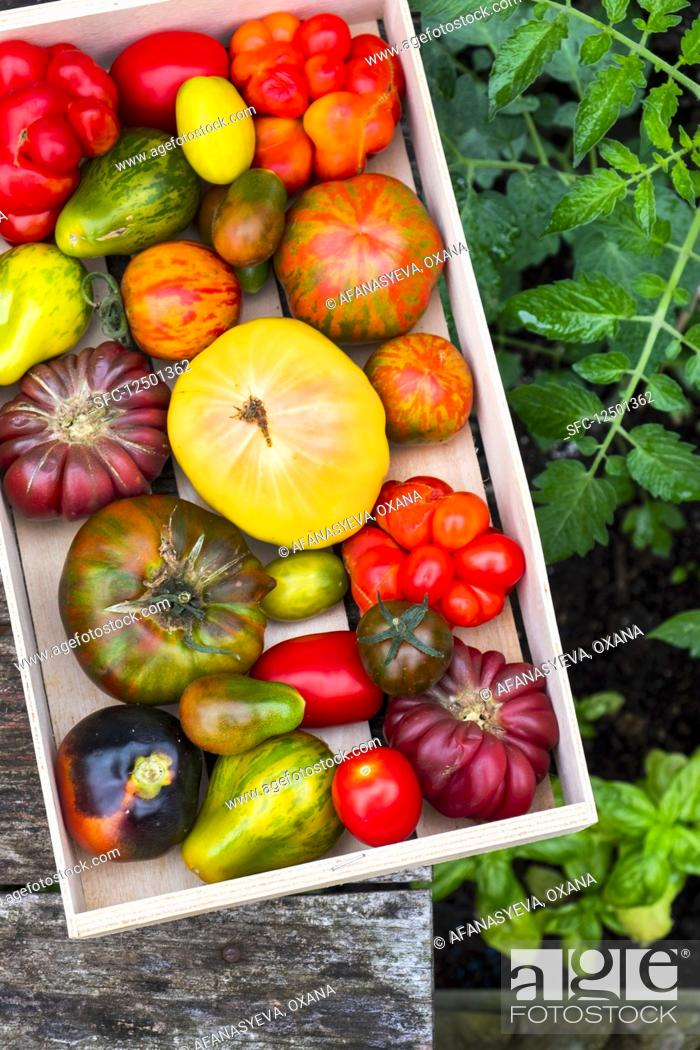 Photo de stock: Various heirloom tomatoes in a crate.