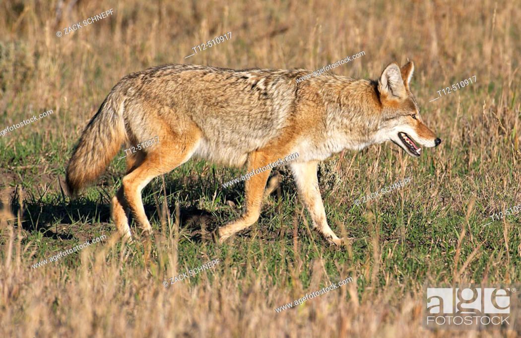 Stock Photo: Coyote on the hunt in the Grand Teton National Park.