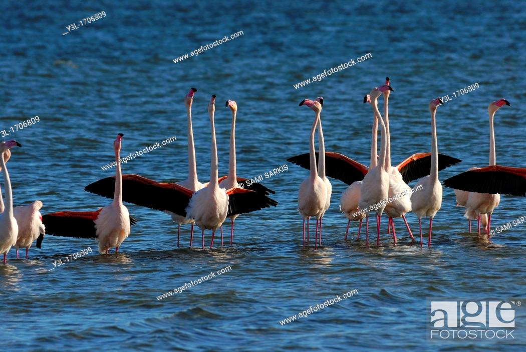 Stock Photo: Flock of Greater Flamingoes Phoenicopterus ruber wings wide open during mating season, Berre l'Etang, Provence, France.