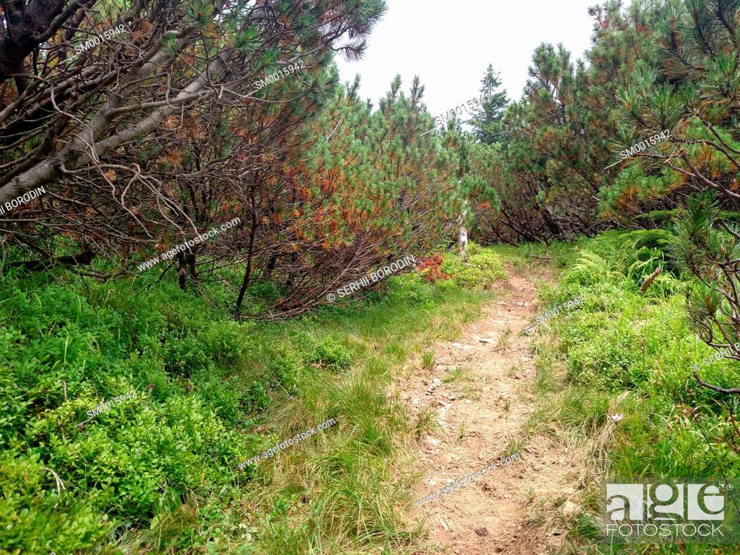 Stock Photo: Juniper path in mountain Hiking through Karpathians mountain near Lugi village nature.