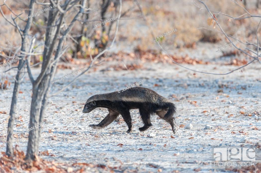 Stock Photo: Honey Badger (honey badger). Etosha National Park. Namibia. Africa.