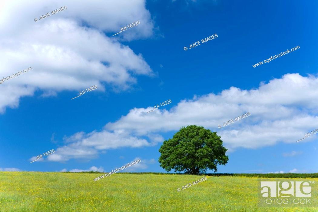 Stock Photo: Tree and field of yellow flowers.