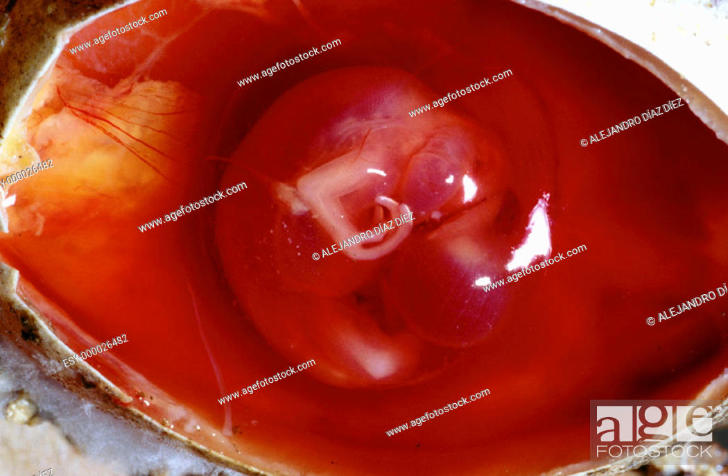 Stock Photo: Iguana (Iguana iguana) embryo.