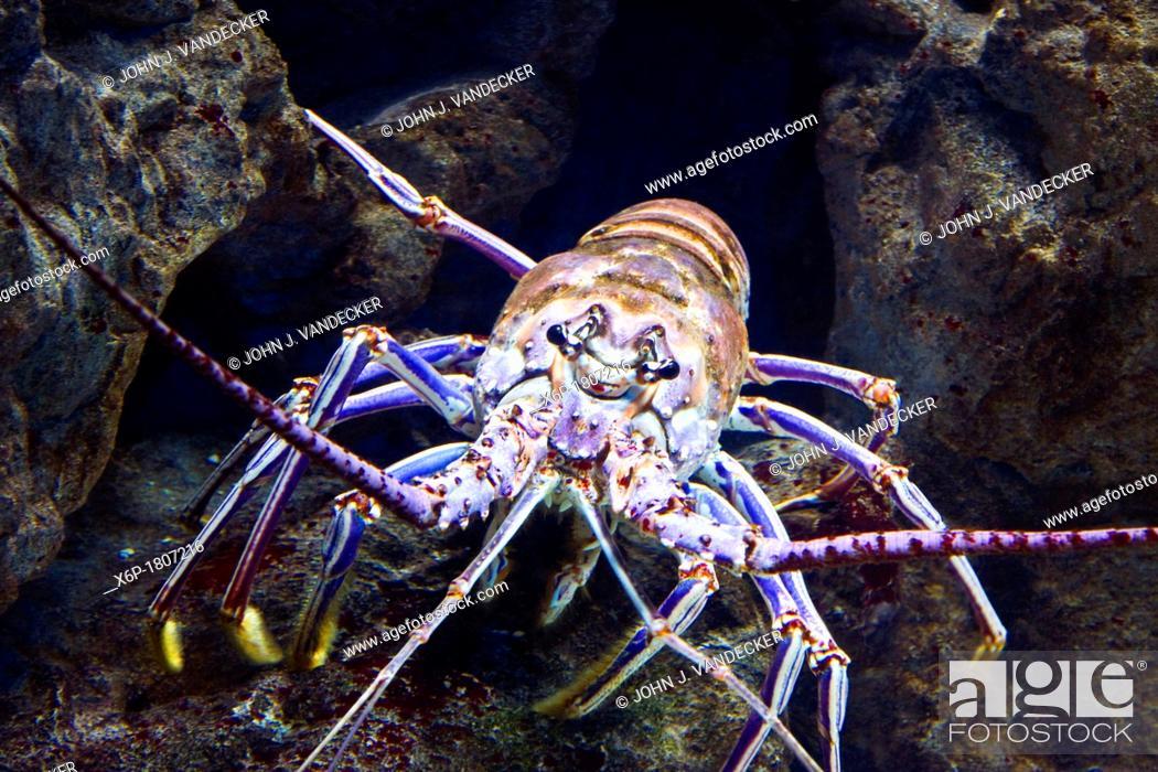 Stock Photo: Caribbean Spiny Lobster, Panulirus argus  Camden Aquarium, Camden, New Jersey, USA.