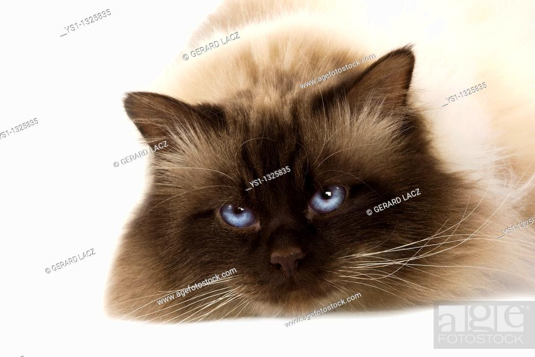 Stock Photo: CHOCOLATE BIRMANESE CAT AGAINST WHITE BACKGROUND.