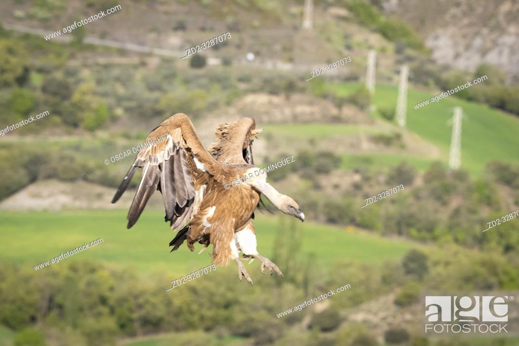 Stock Photo: Griffon Vulture (Gyps fulvus) coming in to land with a power line in the background. Lleida province. Catalonia. Spain.