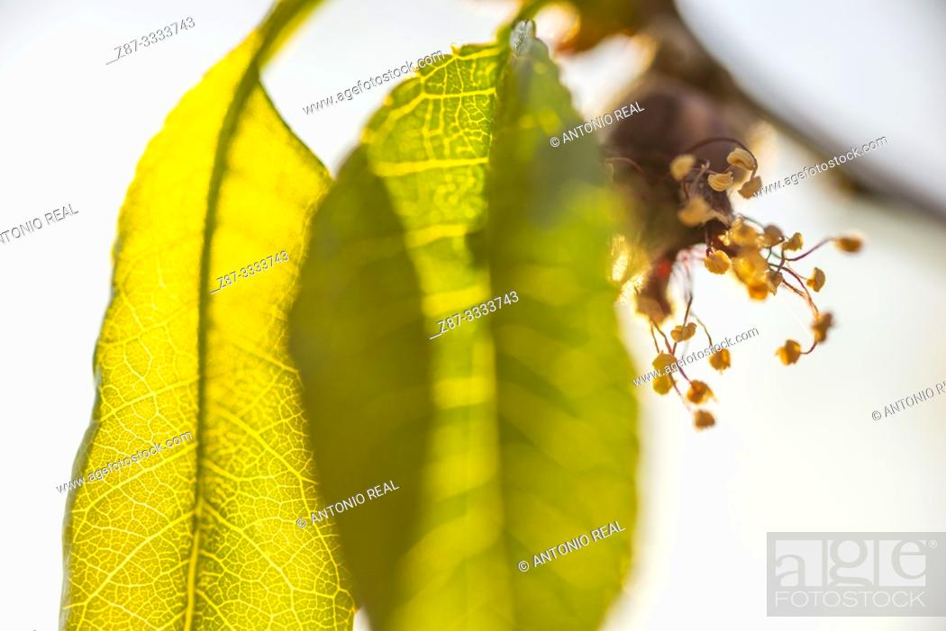 Stock Photo: Close-up of pear tree flowers and leaves (Pyrus sp.). Almansa. Albacete province, Castile-La Mancha, Spain.