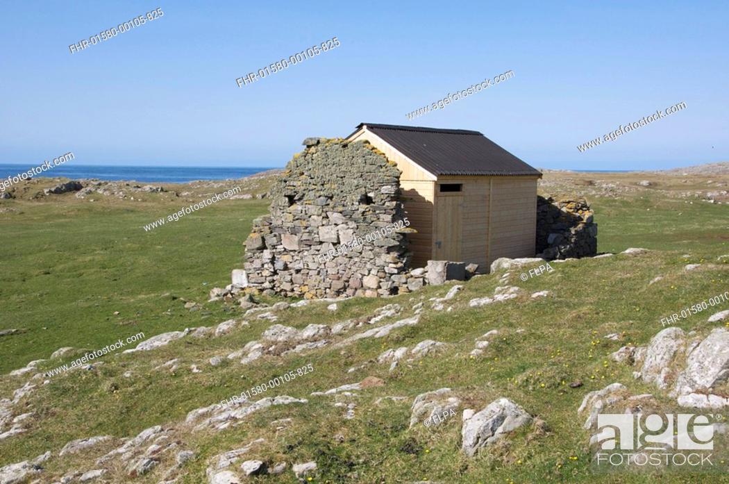Stock Photo: Red-billed Chough Pyrrhocorax pyrrhocorax nesting house, built in ruins of stone hut, Machir, Islay, Inner Hebrides, Scotland, april.
