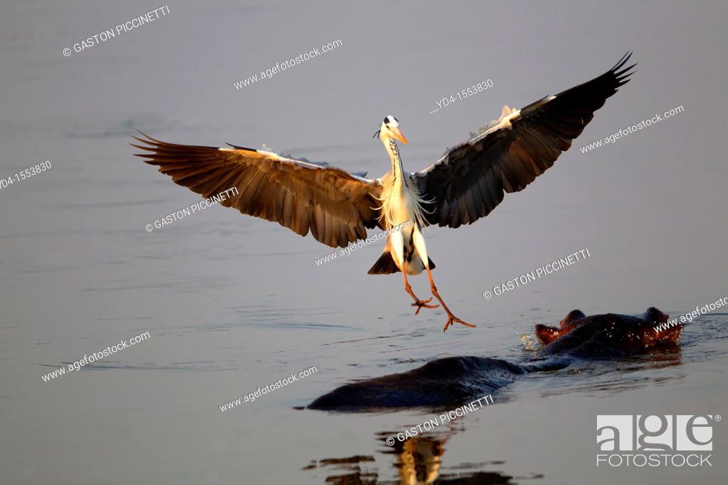 Stock Photo: Grey Heron Ardea cinerea, landing on a Hippopotamus Hippopotamus amphibius, Kruger National Park, South Africa.