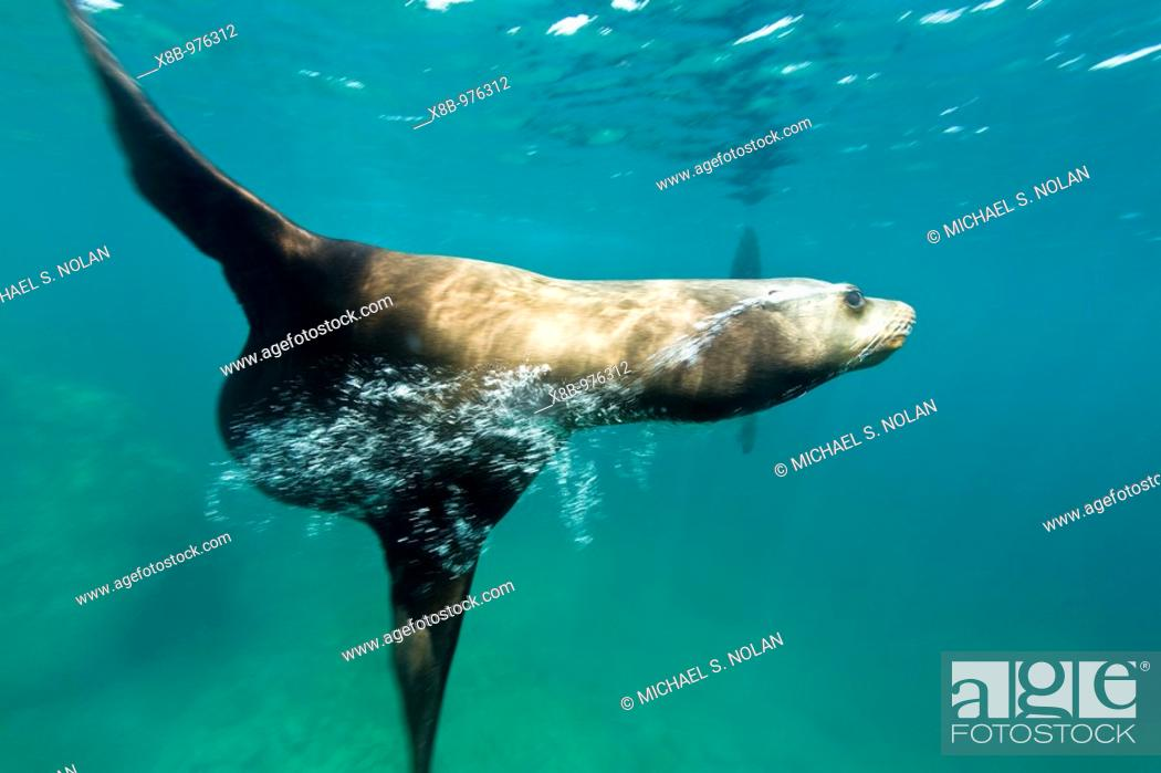 Stock Photo: California sea lion Zalophus californianus underwater at Los Islotes the islets just outside of La Paz, Baja California Sur in the Gulf of California Sea of.