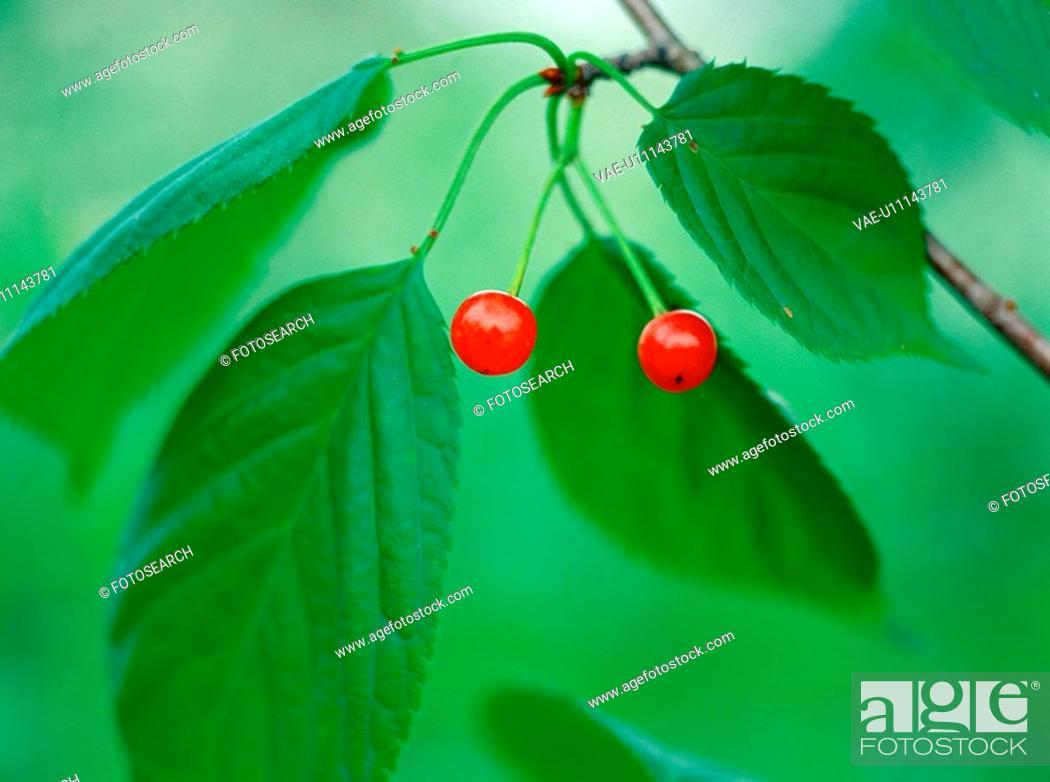 Stock Photo: fruit, nature, leaf, tree, plant, film.