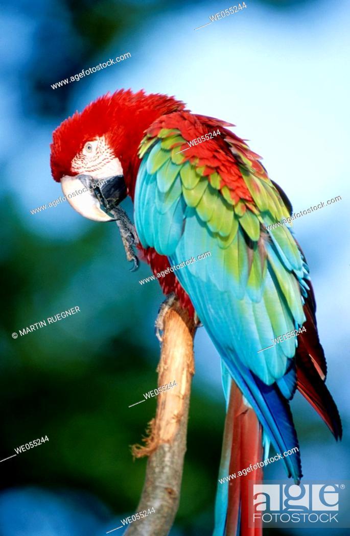 Stock Photo: Green-Winged Macaw (Ara chloroptera).