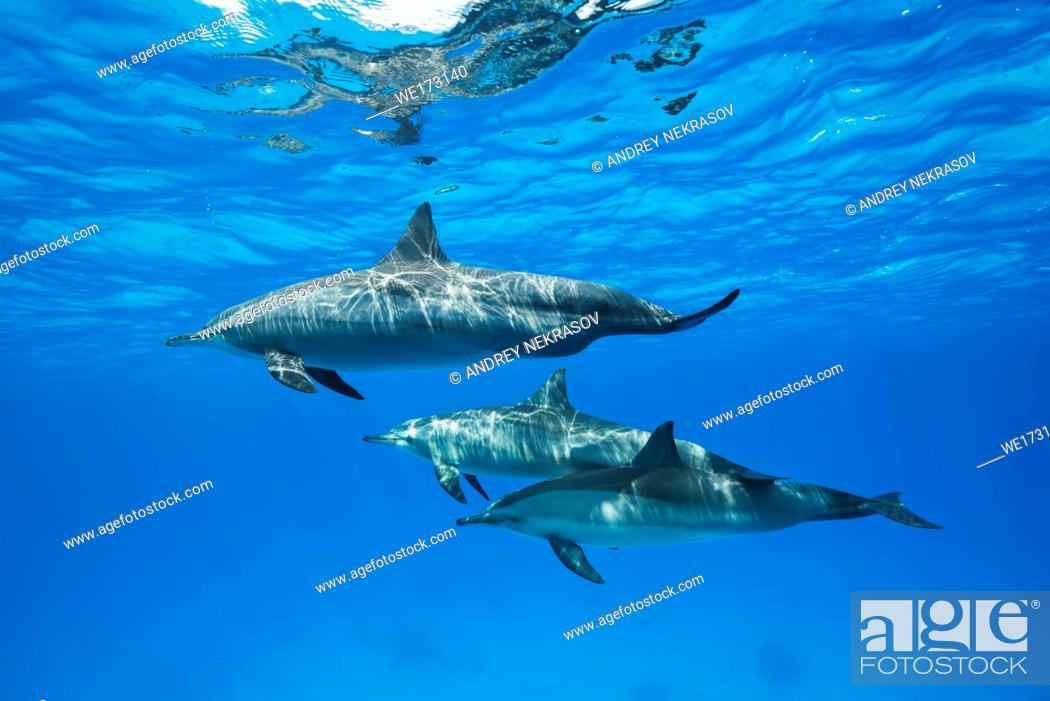 Stock Photo: Family of dolphins swim in the blue water. Spinner Dolphins (Stenella longirostris). Red Sea, Sataya Reef, Marsa Alam, Egypt.