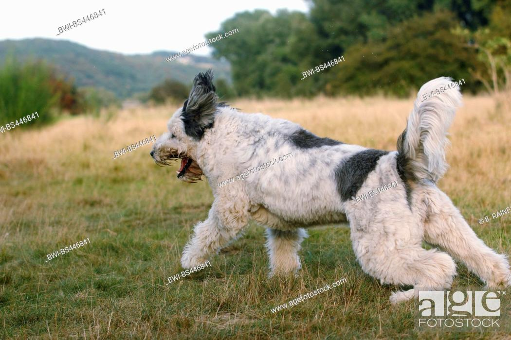 Stock Photo: Polish Lowland Sheepdog, PON (Canis lupus f. familiaris), three years old trimmed she dog running in a meadow, side view, Germany.