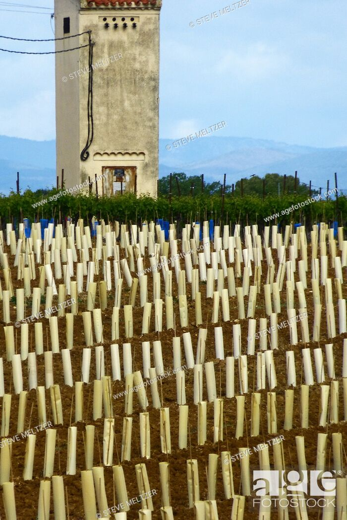 Stock Photo: Newly planted vines are protected from rabbits by paper wrappings. A workers' mazet or shelter is in the background.