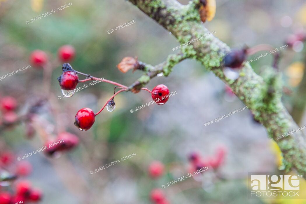 Imagen: Hawthorn with hanging dew drops in the dense fog, Selective focus.