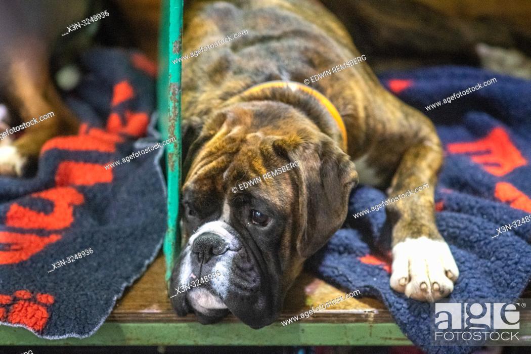 Imagen: Boxer dogs taking a rest in pen at dog show, Edinburgh, Scotland.