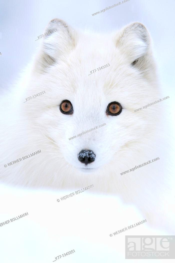 Stock Photo: Arctic/Polar Fox (Alopex lagopus), Captive, Norway, February 2010.