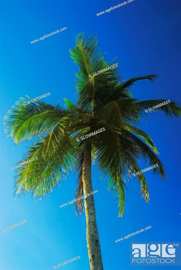 Stock Photo: Low angle view of a palm tree, Providencia, san Andres Providencia y Santa Catalina, San Andres y Providencia Department, Colombia.