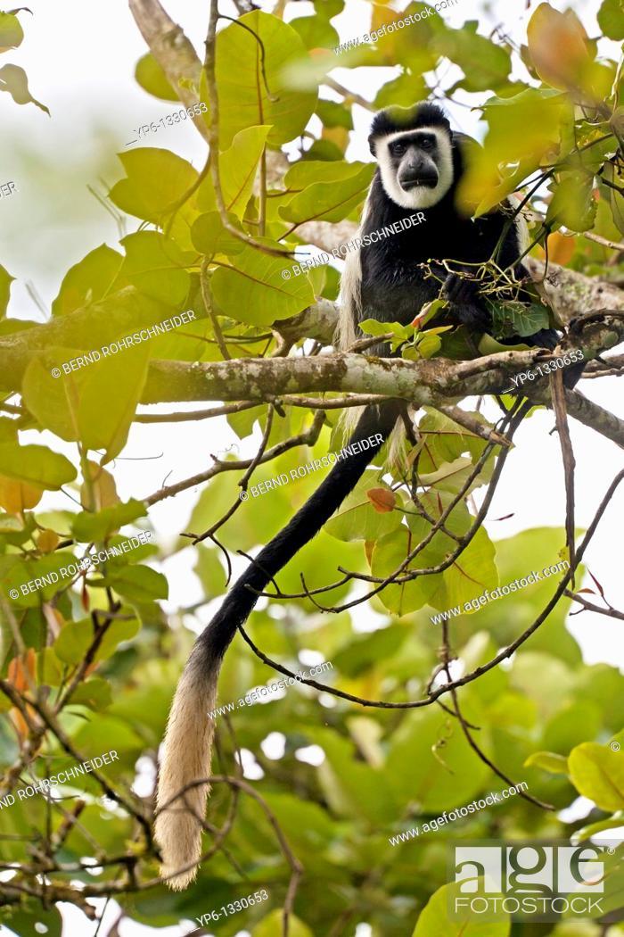 Stock Photo: Mantled Guereza, Colobus guereza, sitting in tree, Bigodi Wetland Sanctuary, Uganda.