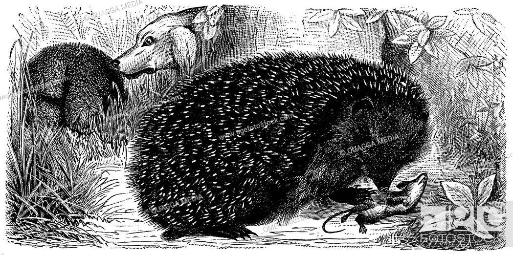 Stock Photo: Hedgehog.