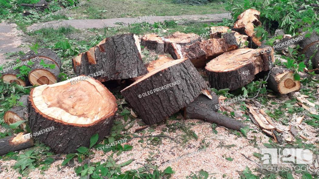 Imagen: A large trunk of a fallen tree is cut into the stumps.