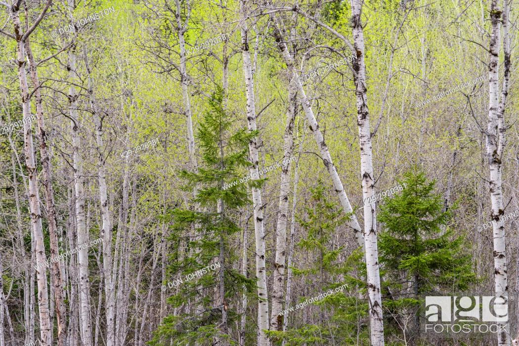 Stock Photo: Emerging spring aspen foliage in a mixed forest woodlot, Greater Sudbury, Ontario, Canada.