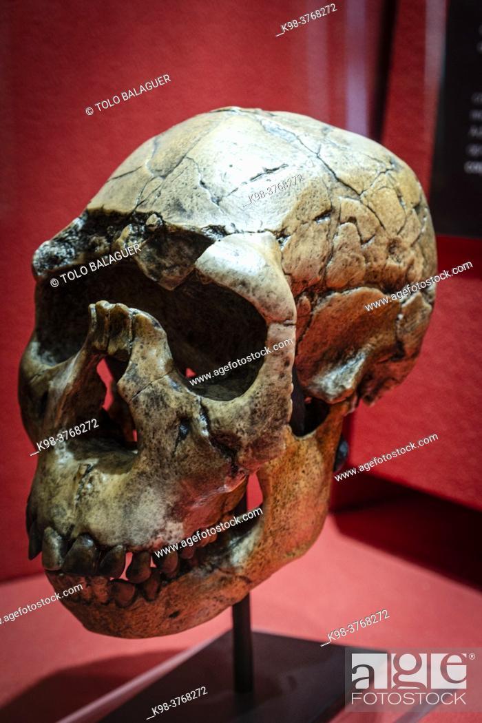 Stock Photo: Homo ergaster skull replica, Museo Comarcal de Molina de Aragón, Guadalajara, Spain.