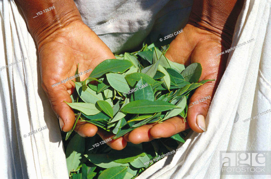 Stock Photo: Harvesting coca leaves for traditional use. Los Yungas. Bolivia.