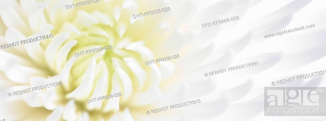 Stock Photo: White Chrysanthinum close up.