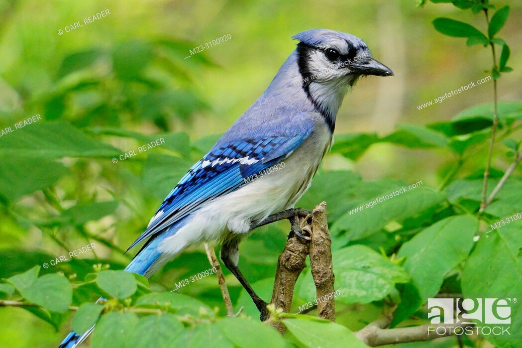 Stock Photo: A bluejay, Cyanocitta cristata, looking around from a branch, Pennsylvania, USA.