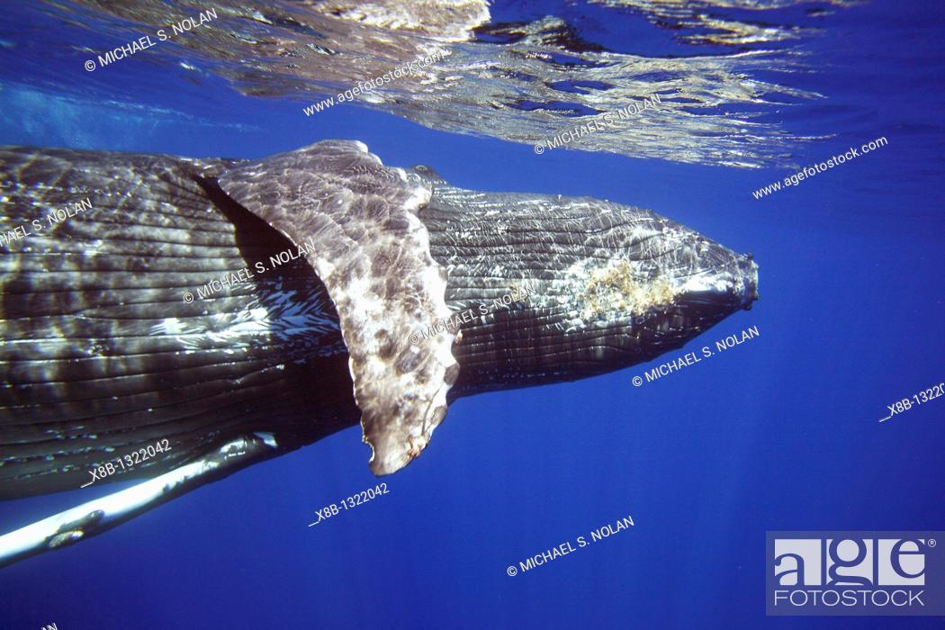 Stock Photo: Curious sub-adult female humpback whale Megaptera novaeangliae interacting by rolling and approaching time and again in the AuAu Channel, Maui.
