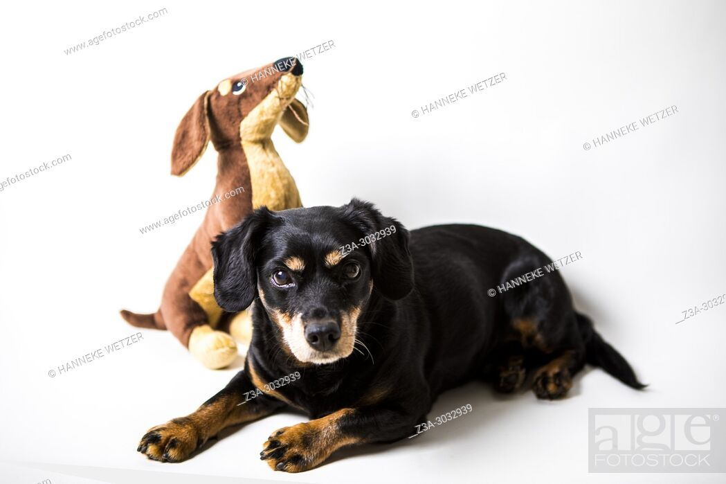 Imagen: Studio shot of a Rottweiler Dachshund cross dog with a similar stuffed toy.