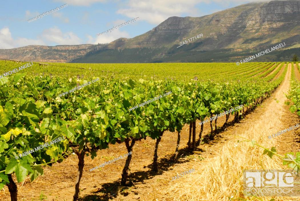 Imagen: Vineyard at Groot Constantia in Cape Town, South Africa.
