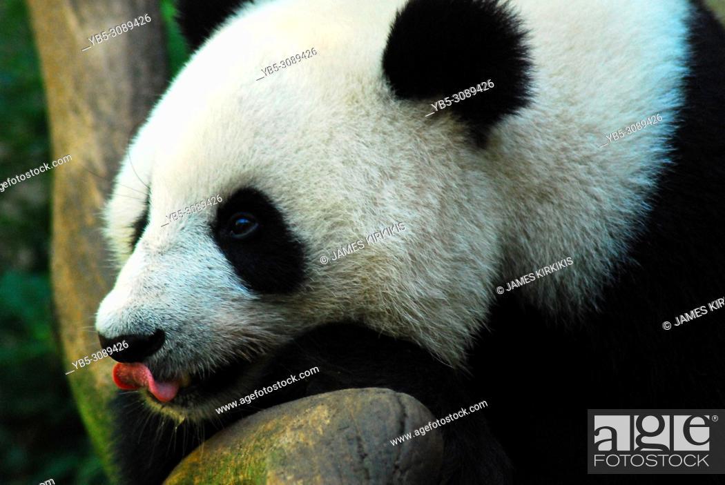 Imagen: A panda eyes a treat and licks his lips.
