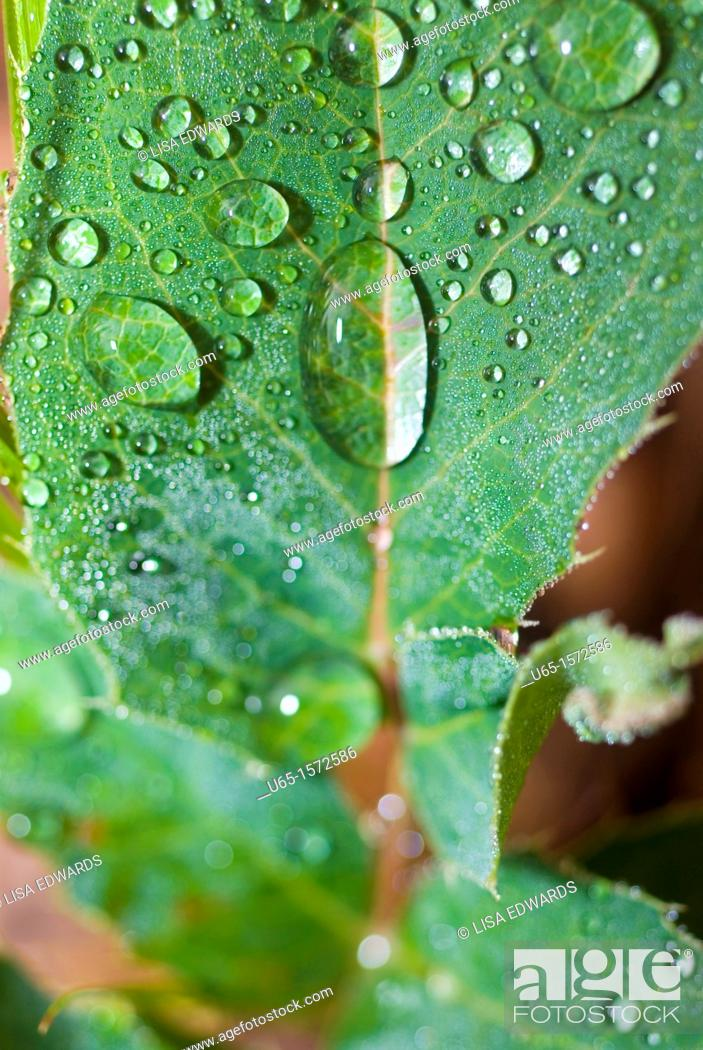 Stock Photo: Green leaf with water droplets, Lake Alice, Wyoming, USA.