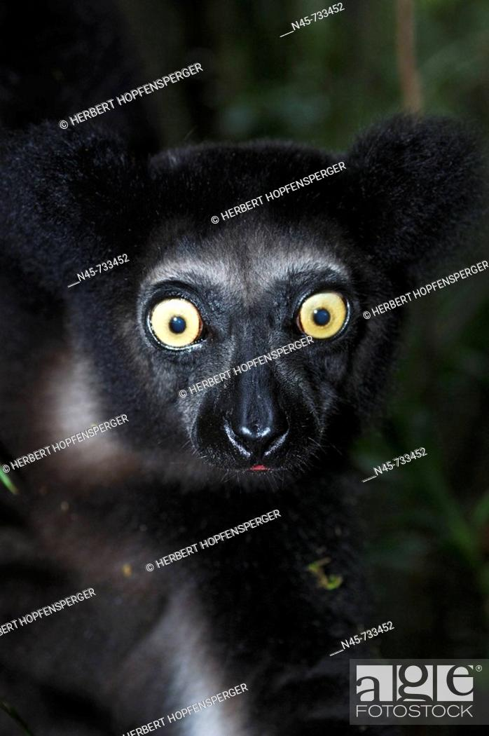 Stock Photo: Indri Lemur. Madagascar.