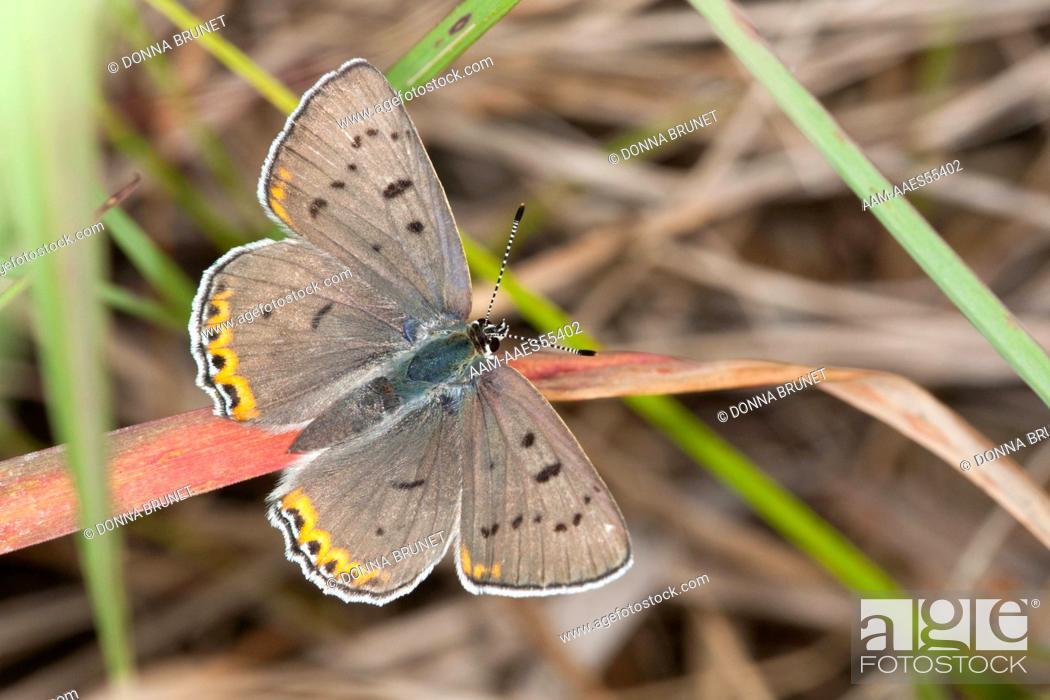 Stock Photo: Female Gray Copper (Lycaena dione) perches in grassland habitat. Macon County, Missouri, 20 June 2009.