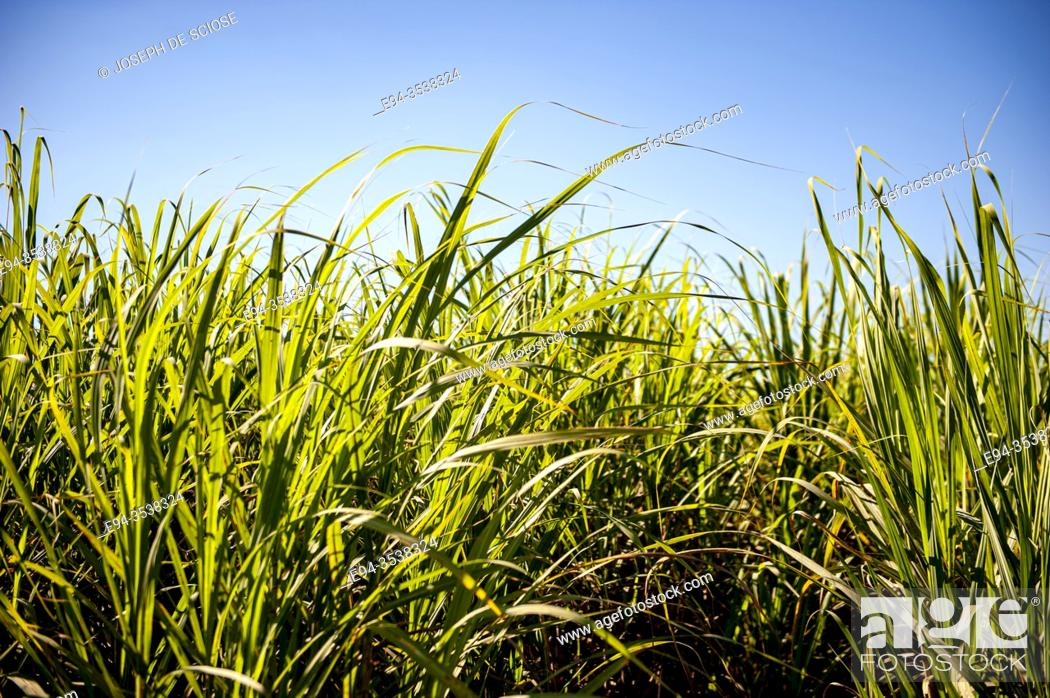 Stock Photo: A crop of sugar cane in Southern Louisanna.